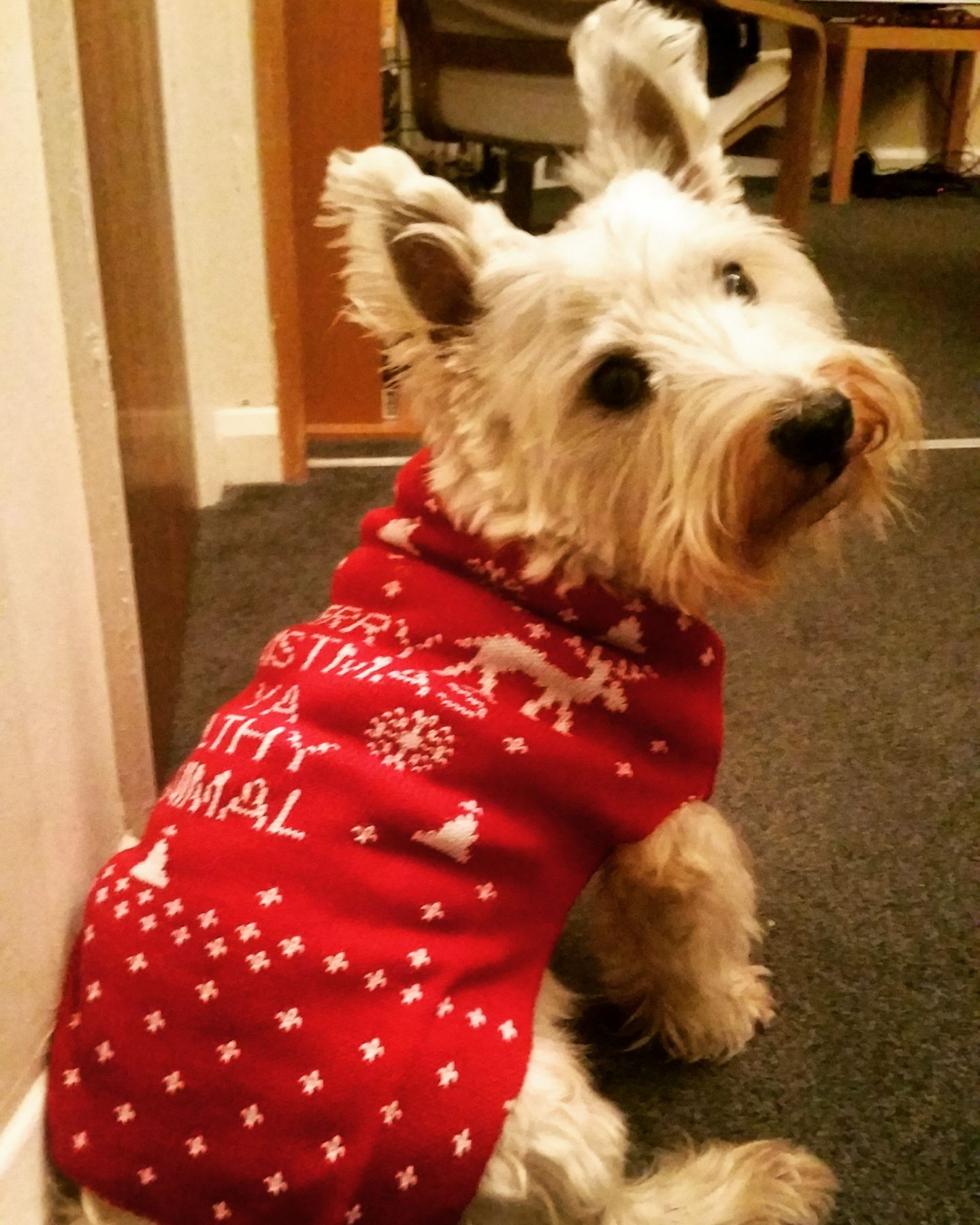 cute westie dog in christmas jumper